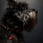 Max The Miniature Schnauzer